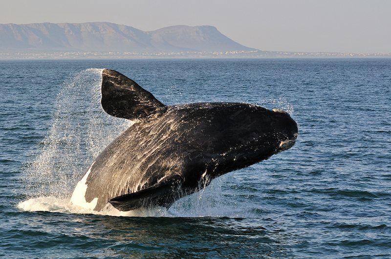 Wale beobachten in Südafrika